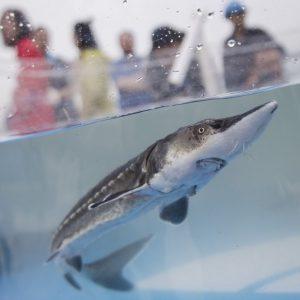 China solta 10.000 esturjões no Rio Yangtzé